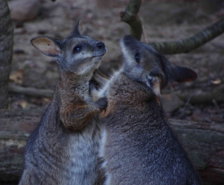 Wallabies squabbling towards the end of feeding time