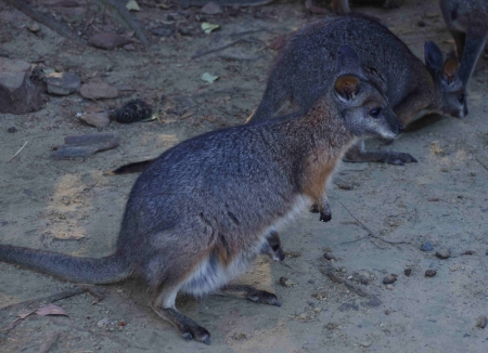 Wallaby with young in pouch.