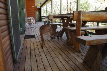 Tegan the wallaroo (Macropus robustus)