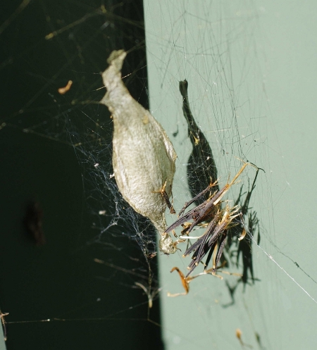 Egg sac of St Andrew's Cross Spider (Argiope keyserlingi)