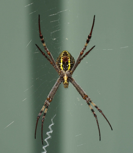 St Andrew's Cross Spider (Argiope keyserlingi), ventral view