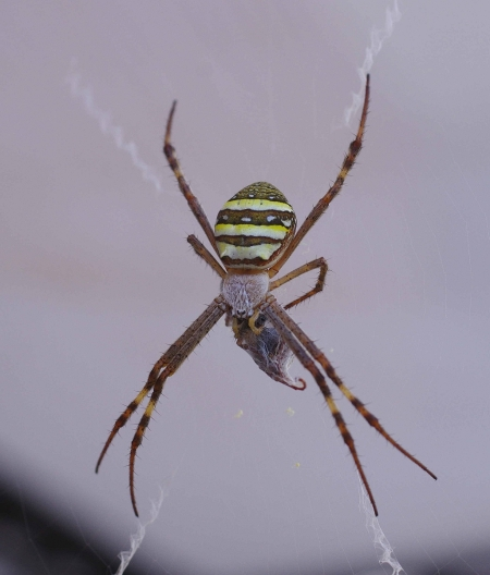 St Andrew's Cross Spider (Argiope keyserlingi) with prey