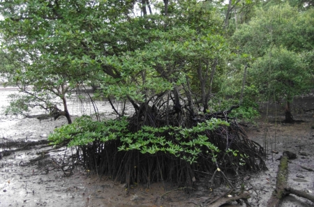 At low tide the roots become exposed