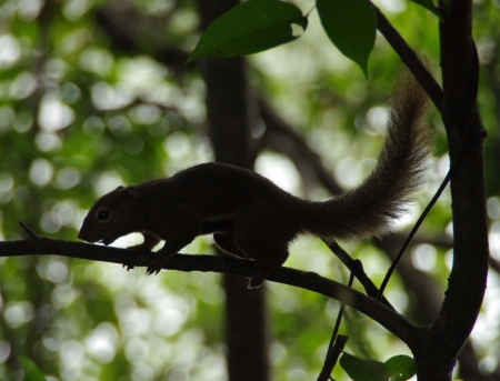 Plantain Squirrel (Callosciurus notatus) in silhouette