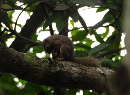 Plantain Squirrel (Callosciurus notatus)
