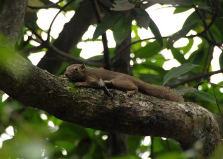 Plantain Squirrel (Callosciurus notatus), a literal tree-hugger