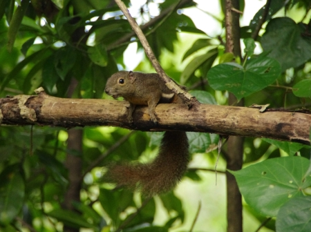 Plantain Squirrel (Callosciurus notatus)