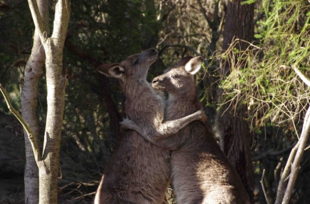 Eastern grey kangaroo (Macropus giganteus) boxing match