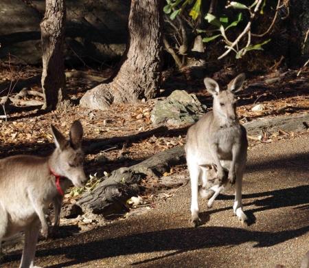 Eastern grey kangaroo (Macropus giganteus)