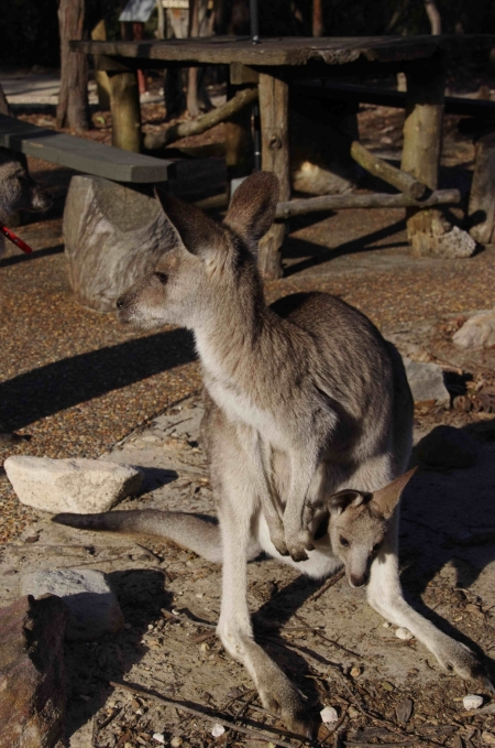 Eastern grey kangaroo (Macropus giganteus) with joey