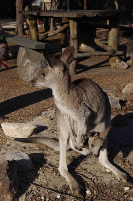 Eastern grey kangaroo (Macropus giganteus) with joey