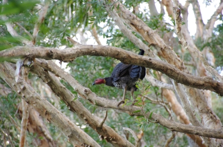 Australian Brush Turkey (Alectura lathami)