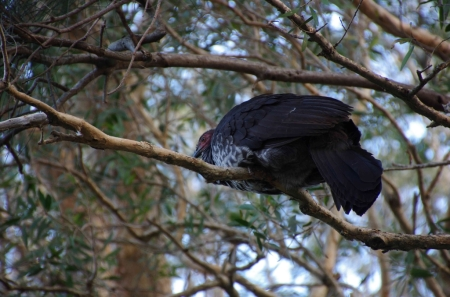 A roosting Australian Brush Turkey (Alectura lathami)
