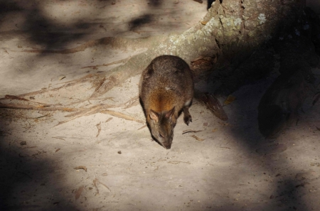 Either a red-necked Pademelon (Thylogale thetis) or a Tammar wallaby (Macropus eugenii)