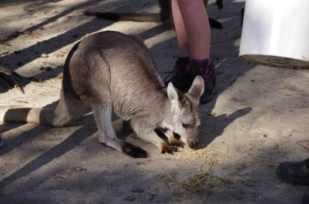 Wallaroo (Macropus robustus)
