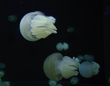 jellyfish17