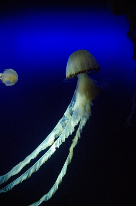 jellyfish21