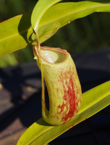 Nepenthes 'Red Leopard' (N. ventricosa x maxima) , cutting2