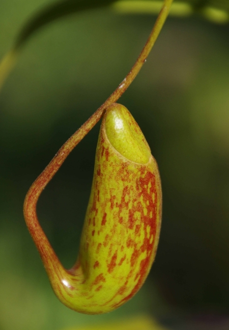 Nepenthes 'Red Leopard' (N. ventricosa x maxima) , cutting3