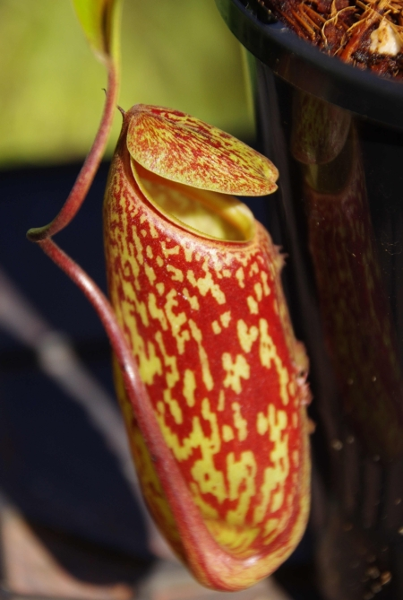 Nepenthes 'Red Leopard' (N. ventricosa-squat x maxima), cutting1, smiling at its own reflection
