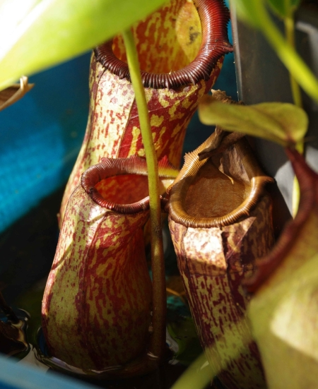 Nepenthes 'Red Leopard' (N. ventricosa x maxima), parent. Note the similarity of the distorted pitcher with that of cutting3