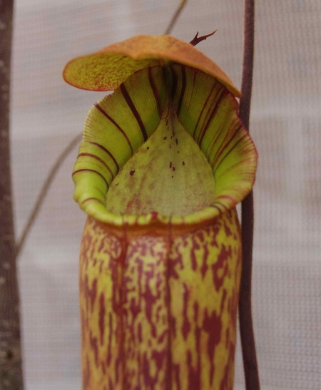 Mystery Nepenthes