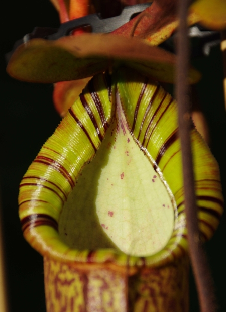 Pitcher #2, Nepenthes truncata x (spectabilis x northiana)