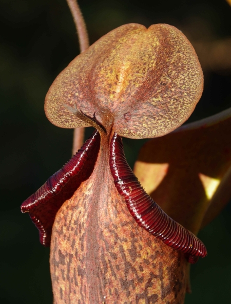 Pitcher #1, rear view, Nepenthes truncata x (spectabilis x northiana)