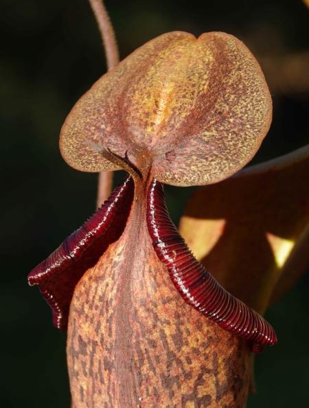 Pitcher #1, rear view, Nepenthes truncata x (spectabilis x northiana)