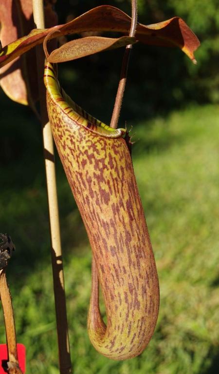 Pitcher #2, Nepenthes truncata x (spectabilis x northiana)