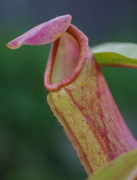 Nepenthes alata x khasiana