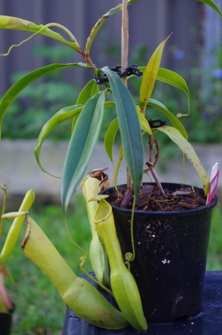 Nepenthes Nakaccho (N. alata (Hyotan) x N. khasiana)