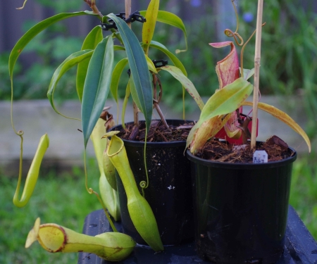 Side by side: Two very different Nepenthes alata x khasiana clones