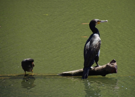 Great cormorant (Phalacrocorax carbo ssp. novaehollandiae) with dusky moorhen (Gallinula tenebrosa)