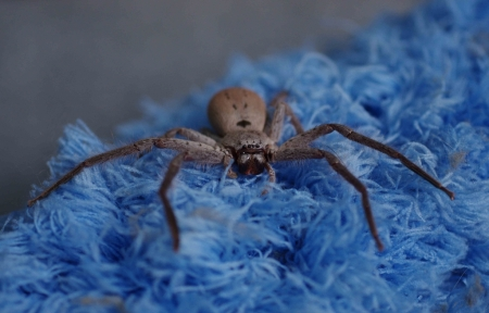 Huntsman spider (Isopeda sp.)