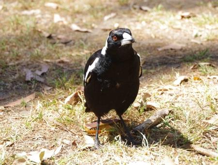 Australian magpie (Gymnorhina tibicen / Cracticus tibicen)