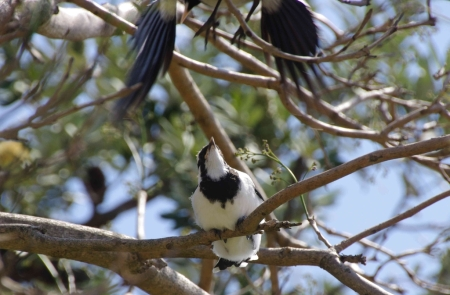A Magpie-lark (Grallina cyanoleuca) fledgeling watches as its parent comes in to land
