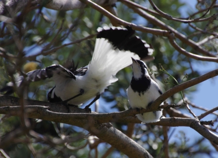 Magpie-lark (Grallina cyanoleuca) fledgeling watches as its parent comes in to land