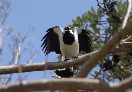 Magpie-lark (Grallina cyanoleuca), a.k.a peewee, peewit, mudlark