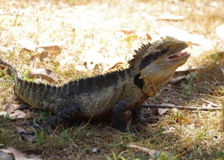 Eastern water dragon (Intellagama lesueurii ssp. lesueurii)