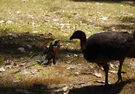 Eastern water dragon vs. brush turkey.