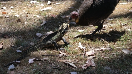 Eastern water dragon vs. brush turkey. Photo by Hapsis.