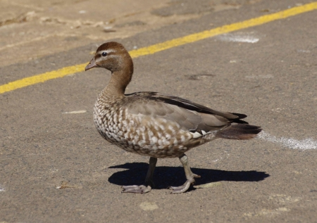 Australian wood duck / maned duck / maned goose (Chenonetta jubata)