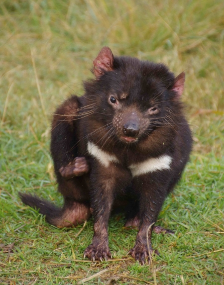 Tasmanian Devil (Sarcophilus harrisii) having a scratch